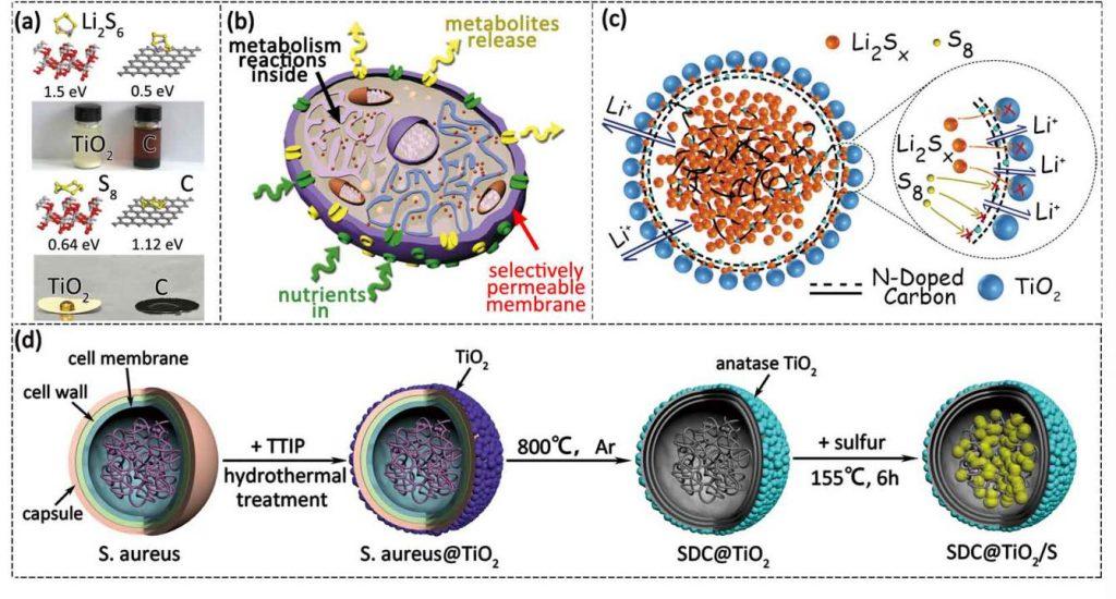 """""""仿生""""双极性正极:金黄色葡萄球菌应用于锂硫电池"""