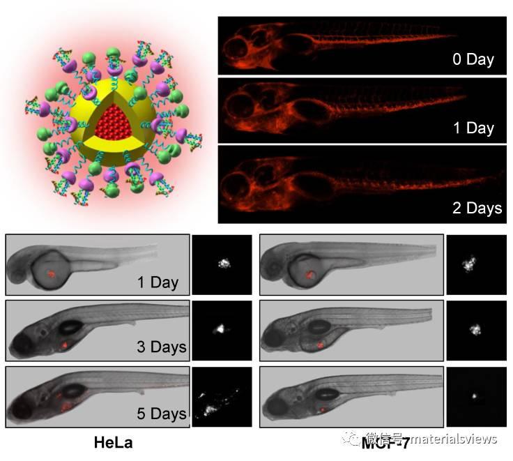 高效红光AIE纳米材料对活体癌细胞增殖与转移的荧光示踪