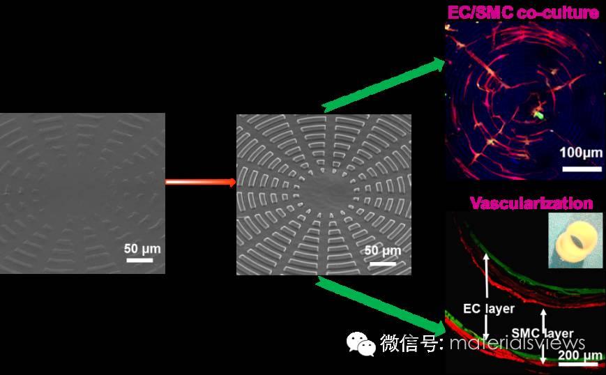 动态变化的微图案表面调控内皮细胞和平滑肌细胞向血管生长