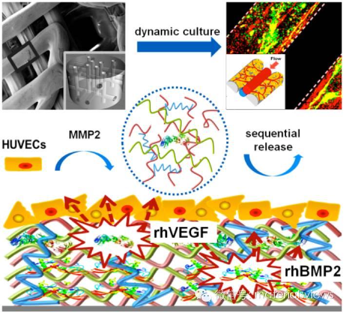 血管化组织再生新思路——把生物诱发信号引入3D生物打印