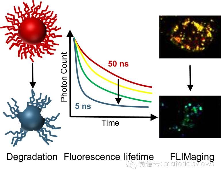 荧光寿命成像技术实时监控纳米颗粒在细胞内的稳定性