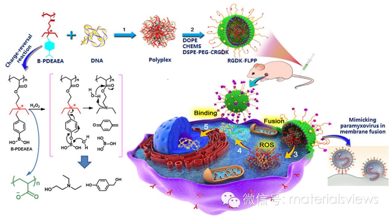 仿病毒膜融合的电荷反转型基因输送系统