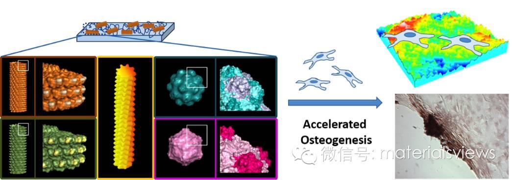 病毒纳米粒子介导骨髓间充质干细胞的成骨分化