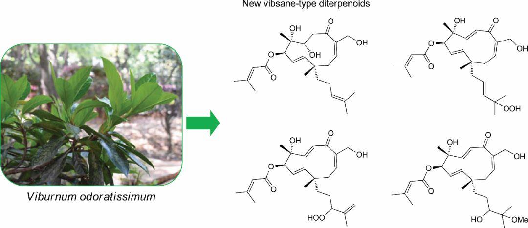 珊瑚树中Vibsane-type型二萜的发现及其细胞毒活性和HSP90抑制活性的研究
