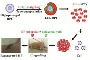 Advanced Healthcare Materials:纳米包裹——从单细胞到细胞球诱导毛囊再生