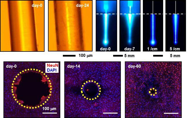 Advanced Optical Materials:面向光遗传学接口的生物相容可降解光纤