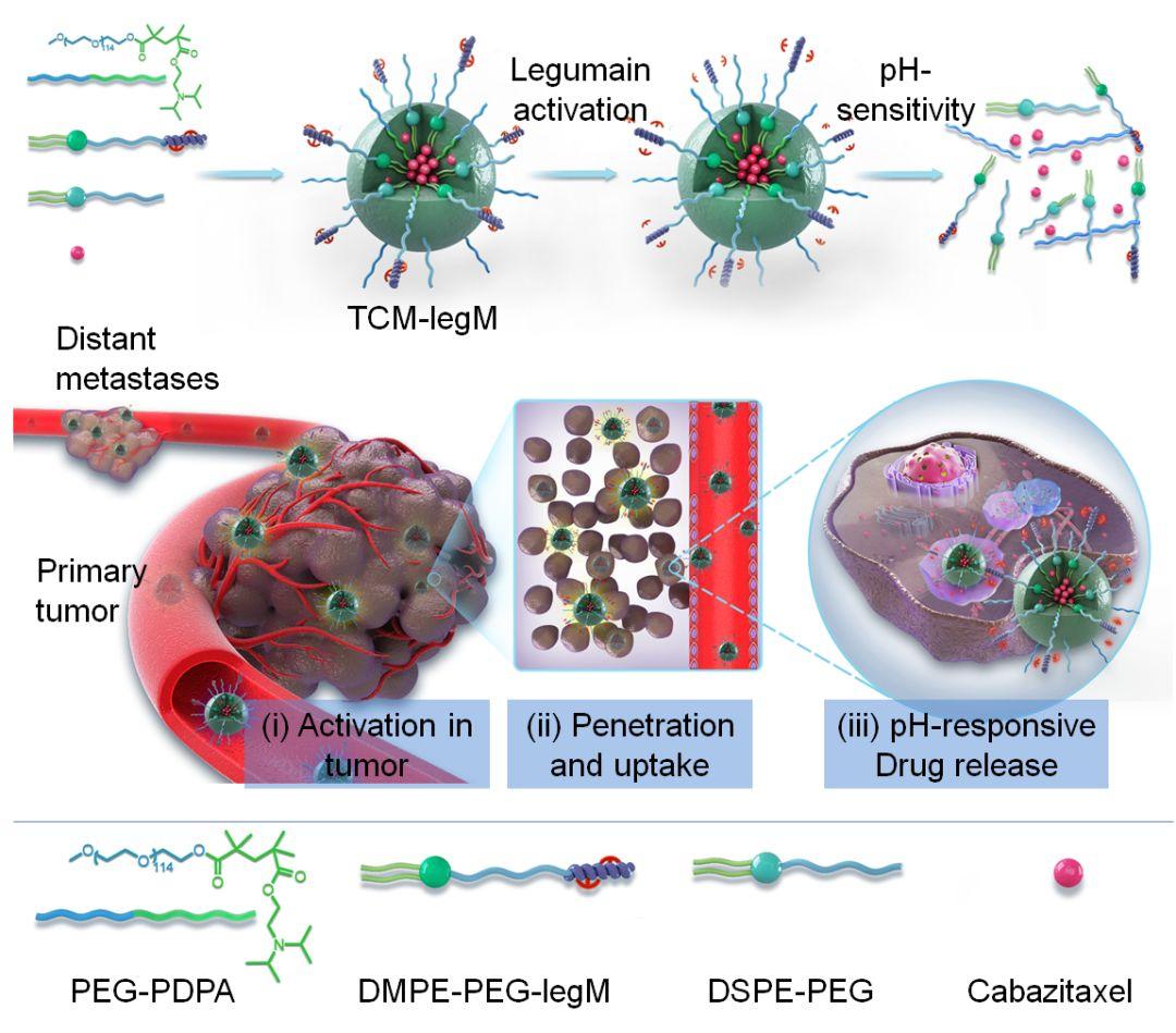 Advanced Functional Materials:肿瘤微环境响应的纳米胶束实现程序性靶向肿瘤转移