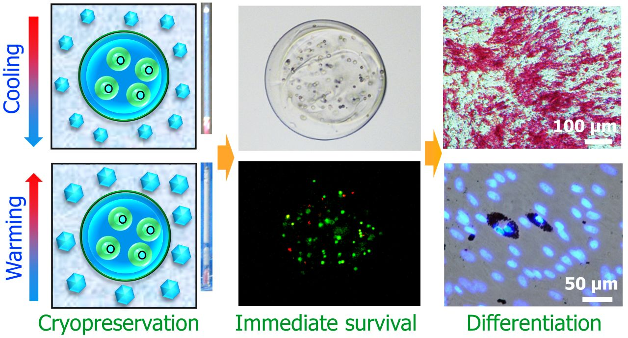 Advanced Healthcare Materials:干细胞-水凝胶构建物的仿生低温保存——来自卵母细胞的启迪