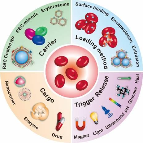 Small Methods: 红细胞递药综述