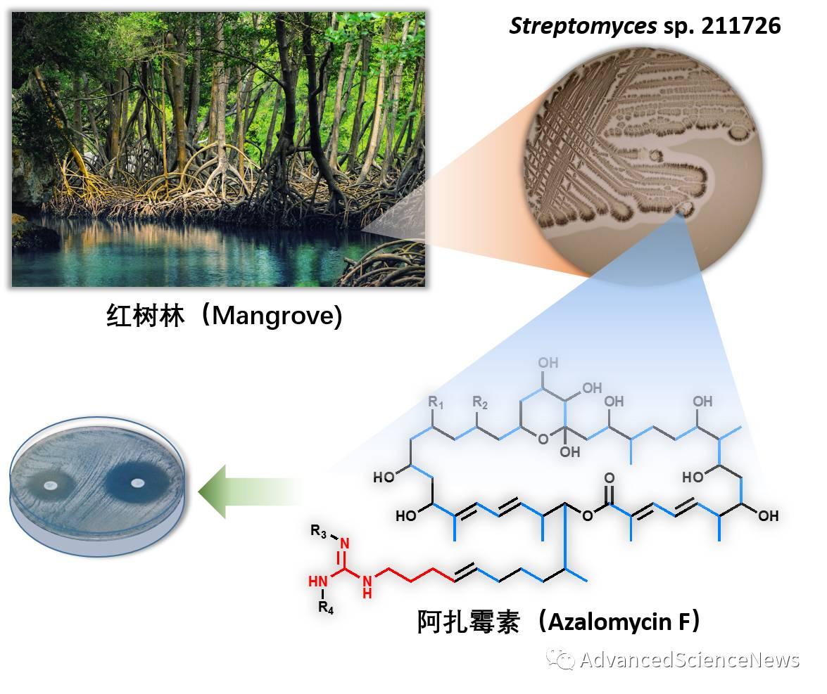 聚酮化合物非线性对应生物合成难题的解析