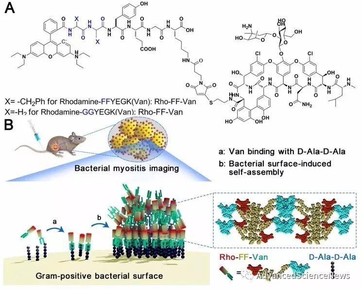 体内细菌性炎症诊断新策略:荧光/同位素双标记自组装万古霉素探针的构建及应用