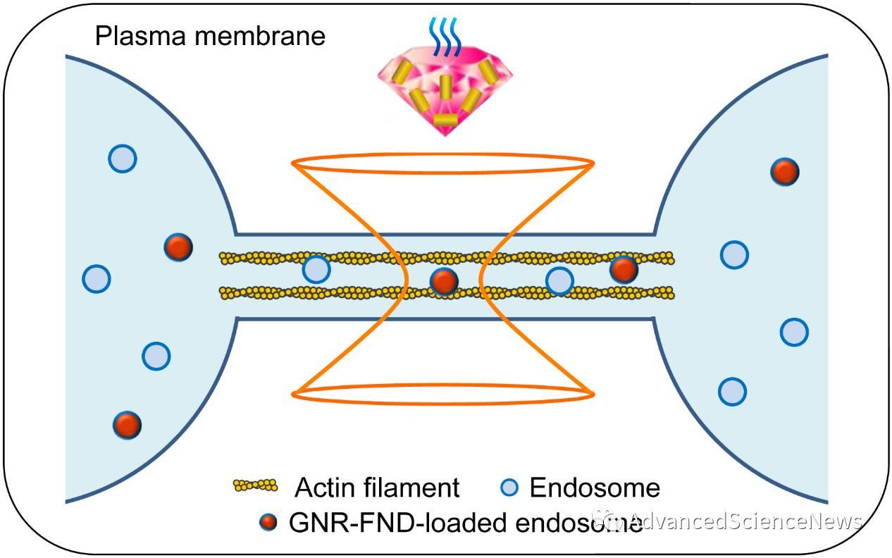 運用奈米金-鑽石複合式材料測量細胞膜的熱穩定性