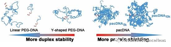 聚合物分子结构对聚乙二醇化寡核苷酸性质的影响