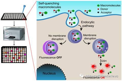 还原敏感型荧光探针用于生物大分子细胞浆递送的高效/定量分析