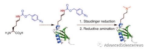 蛋白质中双甲基化赖氨酸特异性引入的新策略:非天然氨基酸引入与生物正交反应相结合
