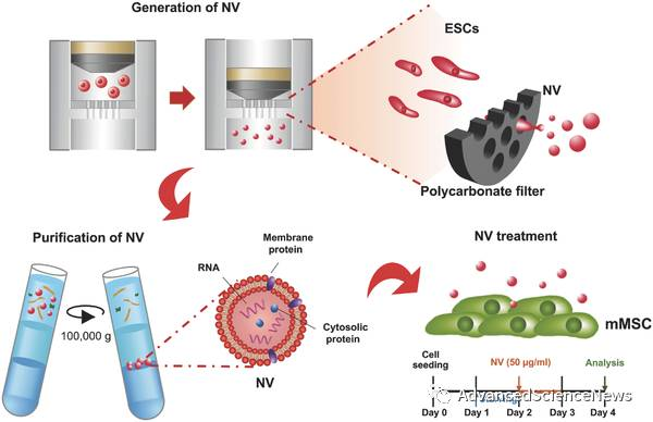 纳米囊泡促进间充质干细胞的自我更新